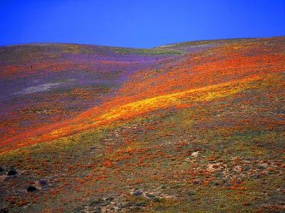 California Wildflowers-Jody Miller-Photographic Print