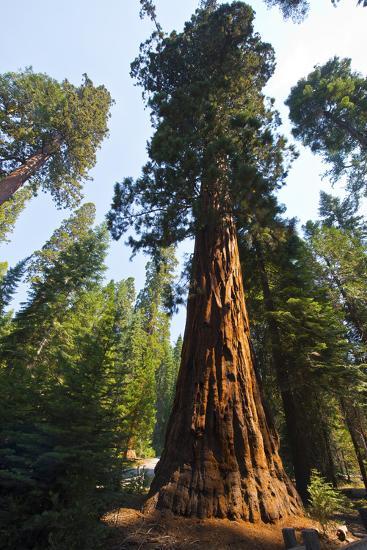 California, Yosemite National Park, Mariposa Grove of Giant Sequoia, the Colombia-Bernard Friel-Photographic Print