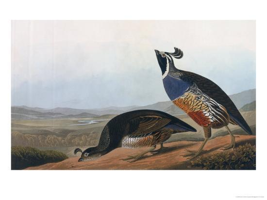 Californian Partridge, from Birds of America, Engraved by Robert Havell-John James Audubon-Giclee Print