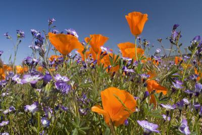Californian Poppy and Violet Davy Gilia