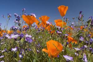 Californian Poppy and Violet Davy Gilia