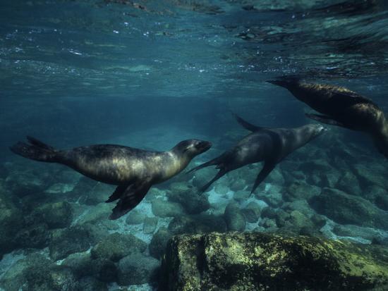 Californian Sea Lion, Underwater, Baja California-Gerard Soury-Photographic Print