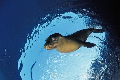 Californian Sea Lion, Zalophus Californianus, Mexico, Sea of Cortez, Baja California, La Paz-Reinhard Dirscherl-Photographic Print