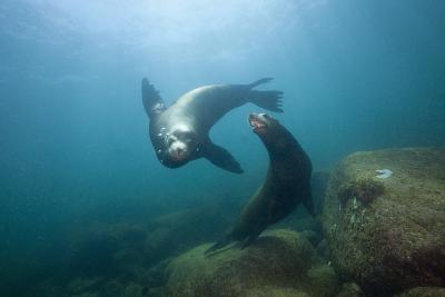 Californian Sea Lion (Zalophus Californianus)-Reinhard Dirscherl-Photographic Print