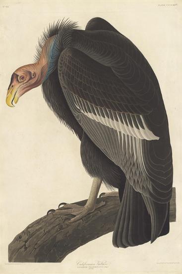 Californian Vulture, 1838-John James Audubon-Giclee Print