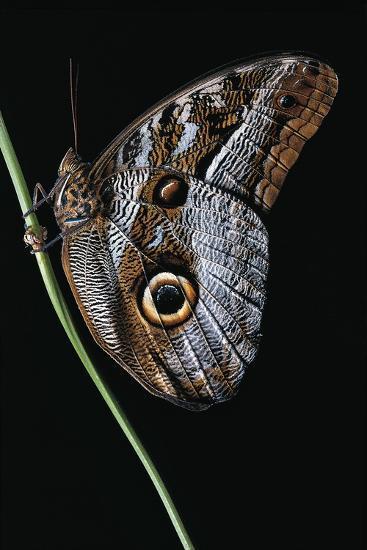 Caligo Idomeneus (Owl Butterfly)-Paul Starosta-Photographic Print