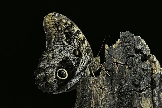 Caligo Memnon (Pale Owl Butterfly, Giant Owl Butterfly)-Paul Starosta-Photographic Print