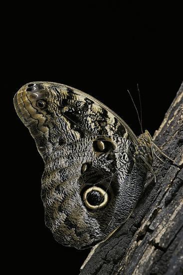 Caligo Memnon (Pale Owl Butterfly, Giant Owl Butterfly)-Paul Starosta-Photographic Print