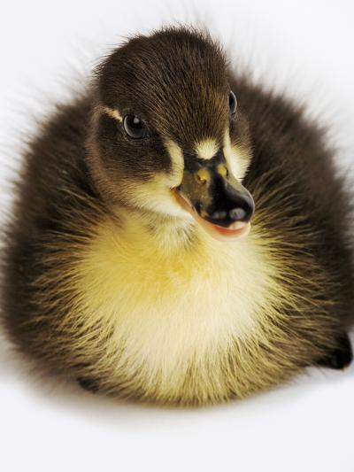 Call Duck Duckling-Martin Harvey-Photographic Print