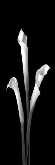 Calla Lilies on Black II-Robert Jones-Photographic Print
