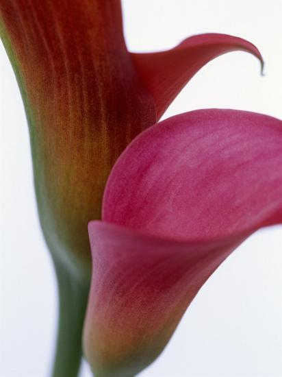 Calla Lilies Zantedeschia Two Flowers Close Up Photographic