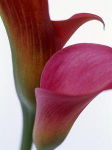Calla Lilies (Zantedeschia), Two Flowers, Close-Up