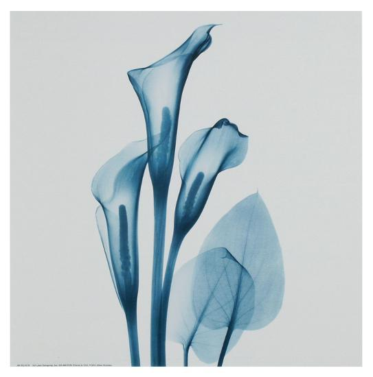 Calla Lilly Blue-Albert Koetsier-Art Print