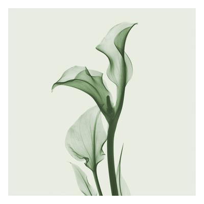 https://imgc.artprintimages.com/img/print/calla-lilly-in-green_u-l-f547uc0.jpg?p=0