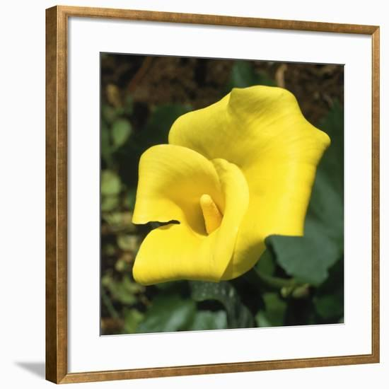 Calla Lily, Araceae Zantedeschia Elliottiana, Oregon-Reynolds Trish-Framed Photographic Print