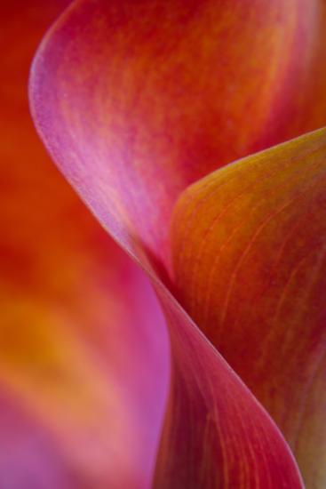 Calla Lily Curves I-Doug Chinnery-Photographic Print