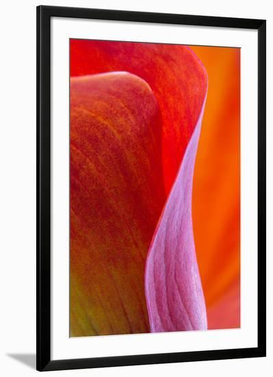 Calla Lily Curves III-Doug Chinnery-Framed Photographic Print