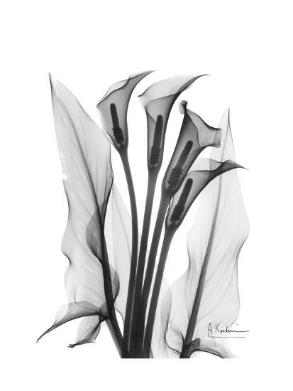 Calla Lily Gray-Albert Koetsier-Premium Giclee Print