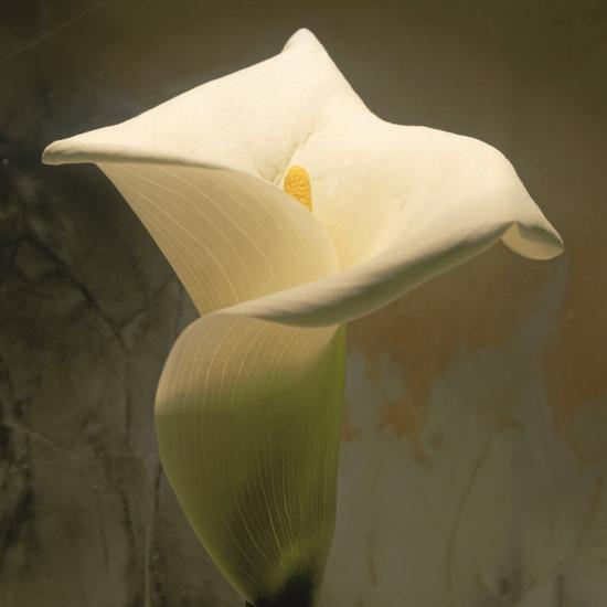 Calla Lily (Zantedeschia Aethiopica), Spring, Oregon, North America-Reynolds Trish-Photographic Print