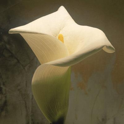 https://imgc.artprintimages.com/img/print/calla-lily-zantedeschia-aethiopica-spring-oregon-north-america_u-l-p941a20.jpg?p=0