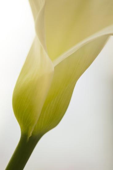 Calla Lily (Zantedeschia Aethiopica)-Maria Mosolova-Photographic Print