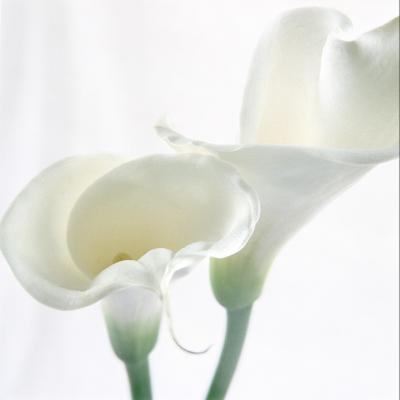 Calla Lily-Anna Miller-Photographic Print