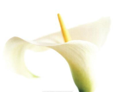 Calla on White-Den Reader-Art Print