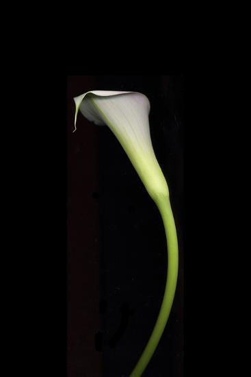 Calla Study-Anna Miller-Photographic Print