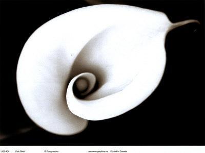 https://imgc.artprintimages.com/img/print/calla_u-l-ehx1z0.jpg?p=0