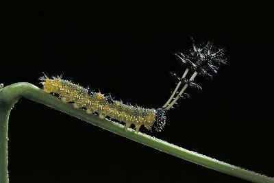 Callicore Cynosura Amazona (Bd Butterfly, Cynosura Eighty-Eight) - Caterpillar with its Barded Spik-Paul Starosta-Photographic Print