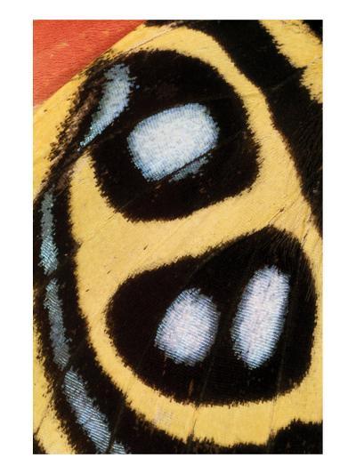 Callicore Sorana-Danny Burk-Art Print