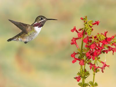 Calliope Hummingbird (Stellula Calliope) Male Flying at Texas Betony (Stachys Coccinea)-Jack Milchanowski-Photographic Print