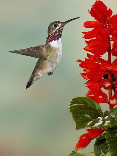 Calliope Hummingbird (Stellula Calliope) Male Flying-Jack Milchanowski-Photographic Print