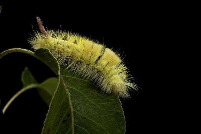 Calliteara Pudibunda (Pale Tussock Moth, Red Tail Moth) - Caterpillar-Paul Starosta-Photographic Print