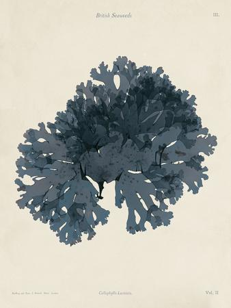 https://imgc.artprintimages.com/img/print/callophyllis-laciniata_u-l-f7zzg70.jpg?p=0