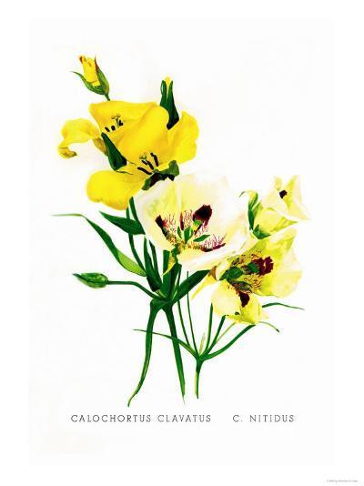 Calochortus Claratus: C. Nitidus-H^g^ Moon-Art Print