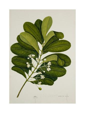 https://imgc.artprintimages.com/img/print/calophyllum-inophyllum_u-l-piwu2e0.jpg?p=0