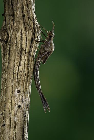 Calopteryx Virgo (Beautiful Demoiselle) - Emerging-Paul Starosta-Photographic Print