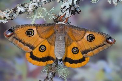 Calosaturnia Moth on Lichen-Covered Branch-Darrell Gulin-Photographic Print