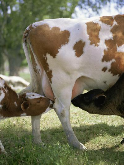 Calves Suckling on Their Mother-Bjorn Svensson-Photographic Print