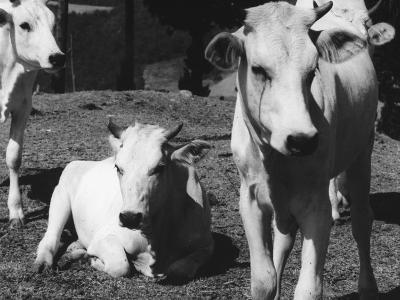Calves-Vincenzo Balocchi-Photographic Print