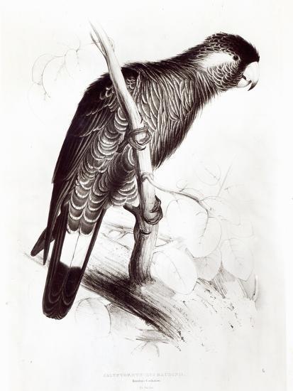 Calyptorhynchus Baudinii, or Baudin's Cockatoo, 1832-Edward Lear-Giclee Print
