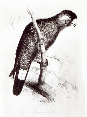 https://imgc.artprintimages.com/img/print/calyptorhynchus-baudinii-or-baudin-s-cockatoo-1832_u-l-p95mfd0.jpg?p=0