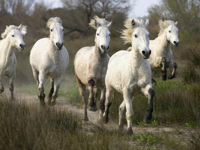 Camargue Horse (Equus Caballus) Group Running, Camargue, France-Konrad Wothe-Photographic Print