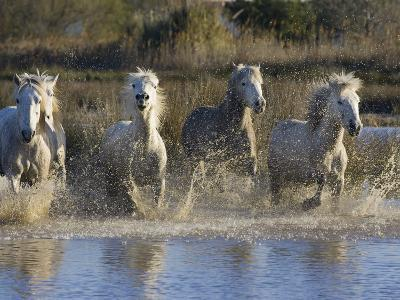 Camargue Horse (Equus Caballus) Group Running in Water, Camargue, France-Konrad Wothe-Photographic Print