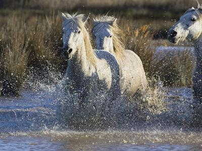 Camargue Horse (Equus Caballus) Group Running in Water, Camargue, Southern France-Konrad Wothe-Photographic Print