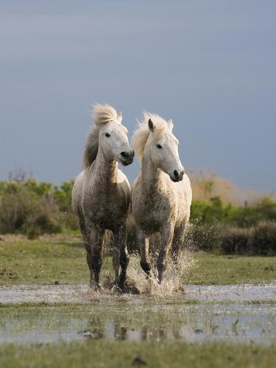 Camargue Horse (Equus Caballus) Pair Running in Water, Camargue, France-Konrad Wothe-Photographic Print