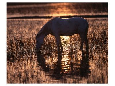 Camargue horse in the evening light--Art Print