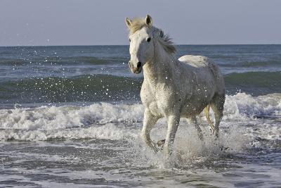 Camargue Horse Running Along the Beach--Photographic Print