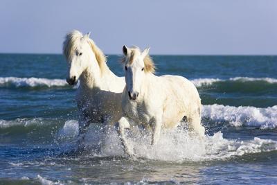 https://imgc.artprintimages.com/img/print/camargue-horses-in-surf_u-l-pzpo1f0.jpg?p=0
